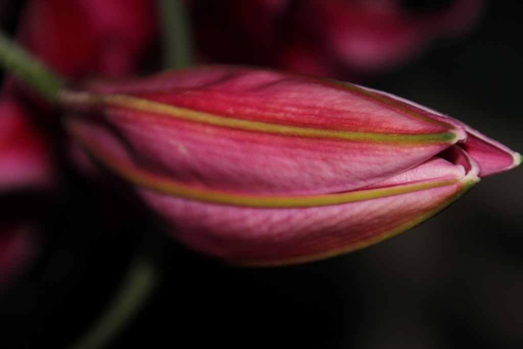 Pink-Lily-bud-about-to-open