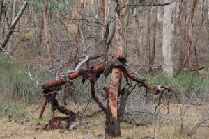 fallen-acacia-tree-with-peeling-bark