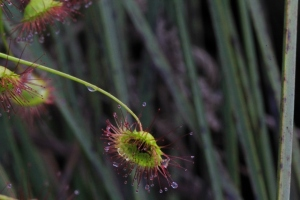 drosera-macrantha-leaves-close-up-showing-insectivorous-part-of-plant