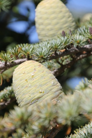 pine-cones-at-Beechworth-Cemetery