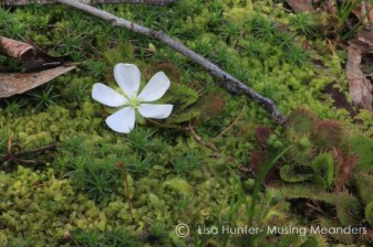 Scented-Sundew-plant-growing-on-moss
