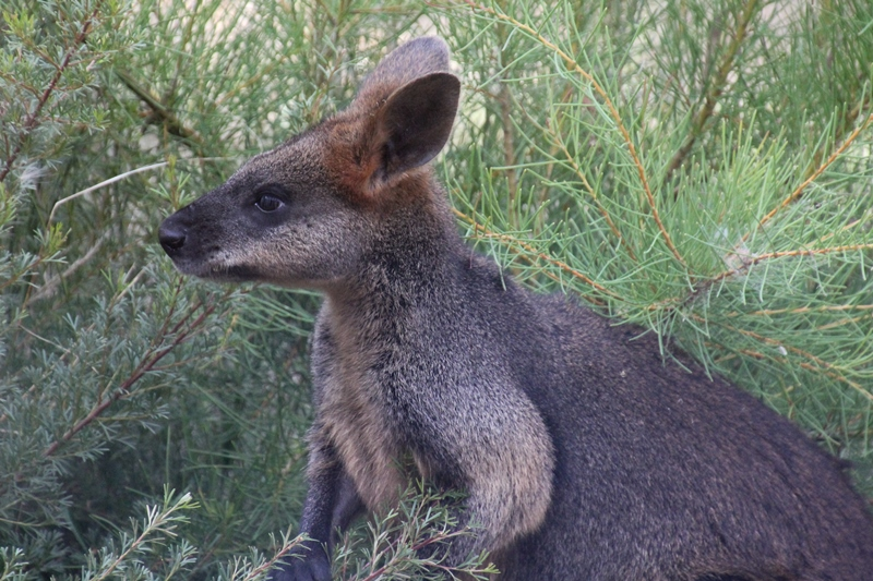 Swamp-wallaby-eating-plants-iin-native-garden