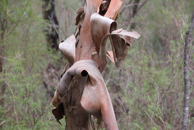 bark peeling-from-tree-trunk