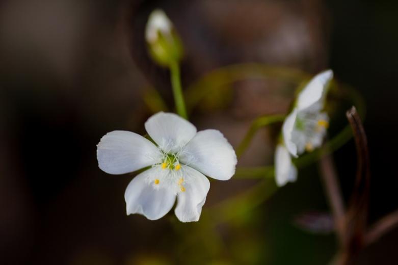 drosera-macrantha-climbing-sundew-open-flowers