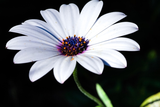 white-daisy-on-black-background