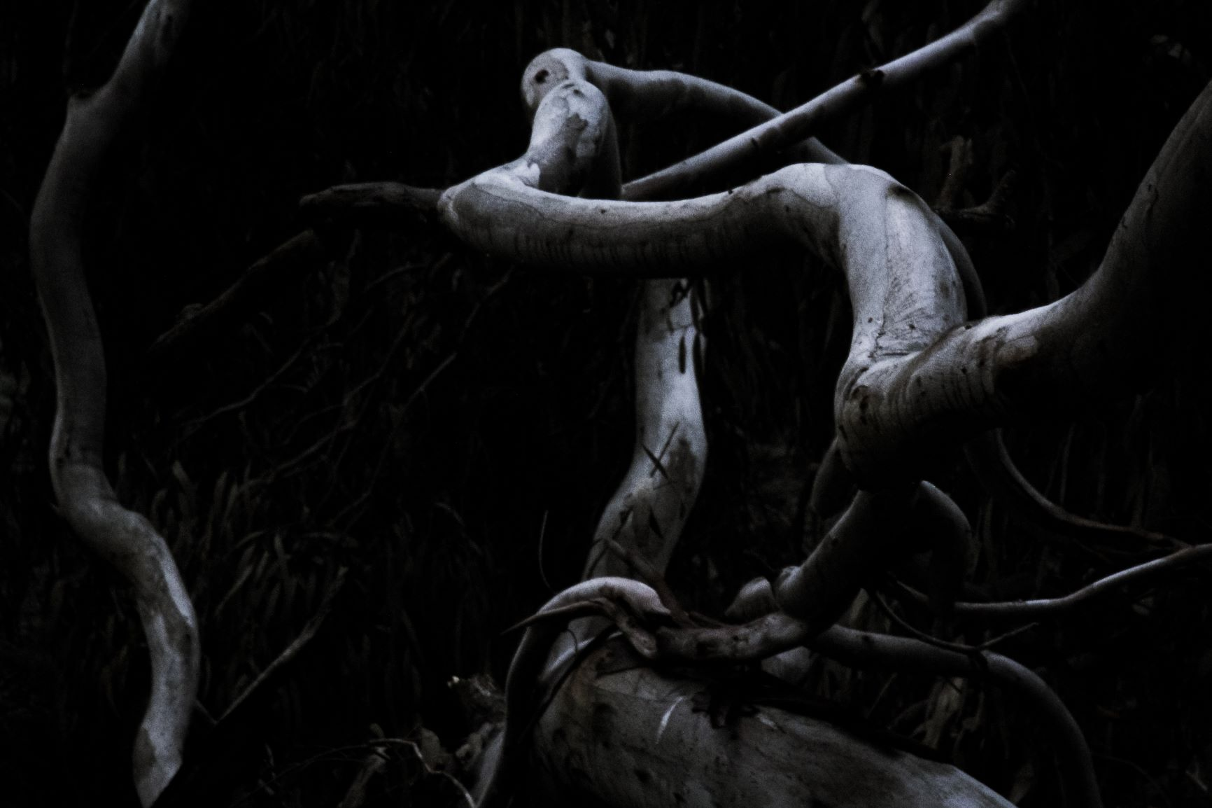 Black and white photograph showing fallen limbs from a tree in a form which can appear to take on other organic forms.